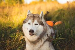 Close-up Portrait of funny dog breed siberian husky with happy smile lying next to a pumpkin for Halloween. Close-up Portrait of funny siberian Husky dog with stock photography