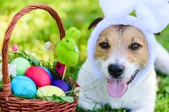 Close-up portrait of funny dog with bunny ears wishing happy Easter. Dog with basket of colored Easter eggs stock image