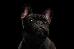 Close-up Portrait of Funny French Bulldog Dog Curiously Looking, Front Royalty Free Stock Image