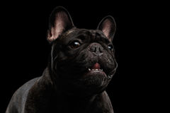 Close-up Portrait of Funny Smiled French Bulldog Dog, Curiously Looking Royalty Free Stock Photos