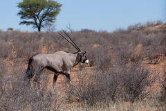 Close up portrait of Gemsbok, Oryx gazella. Dominant Gemsbok antelope in the park, Kalahari, South Africa Royalty Free Stock Photo