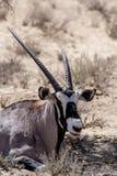 Close up portrait of Gemsbok, Oryx gazella. Dominant Gemsbok antelope in the park, Kalahari, South Africa Royalty Free Stock Images