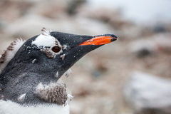 Close-up portrait of gentoo penguin against nature background Stock Photography
