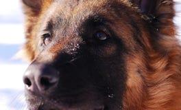 Close-up portrait of german shepherd dog Royalty Free Stock Photography