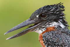 Close up portrait of a Giant Kingfisher Royalty Free Stock Photos