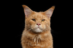 Close-up Portrait Ginger Maine Coon Cat Isolated on Black Background Royalty Free Stock Photography