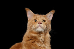 Close-up Portrait Ginger Maine Coon Cat Isolated on Black Background Stock Photo