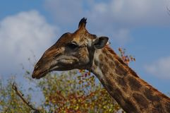 Close-up portrait of a giraffe eating leaves. Kruger National Park, South Africa. stock images