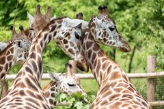 Close-up portrait of giraffe group Giraffa Camelopardalis with green blurry background.  Stock Photo