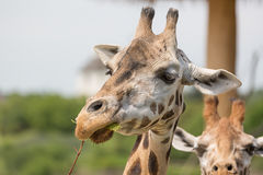 Close-up portrait of a giraffe head Giraffa Camelopardalis eating bush.  Stock Photos