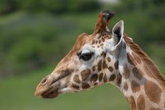 Close-up portrait of a giraffe head Giraffa Camelopardalis with green blurry background.  Stock Photo