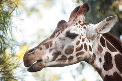 Close up Portrait of Giraffe Royalty Free Stock Photos