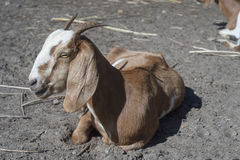 Close up portrait of goat laying on a field,selective focus.  Royalty Free Stock Images