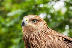 Close-up portrait of golden eagle. Aquila chrysaetos. It is one of the best-known birds of prey Royalty Free Stock Images