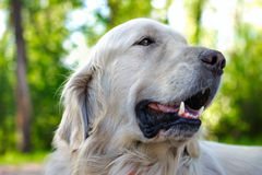 Close up portrait of golden retriever dog Royalty Free Stock Photo