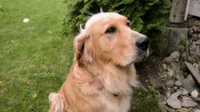 Close up portrait of golden retriever dog sitting on the grass and looking up. Sad retriever dog posing and looking to the camera