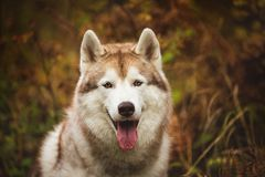 Close-up Portrait of gorgeous Beige Siberian Husky in fall season on a forest background. Image of husky dog in autumn. Close-up Portrait of gorgeous Beige royalty free stock photo