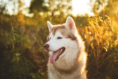 Profile Portrait of beautiful Beige and white Siberian Husky dog sitting in the forest at golden sunset in autumn. Close-up Portrait of gorgeous Beige and white stock photos