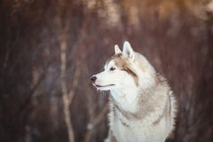 Close-up portrait of free Siberian Husky dog sitting is on the snow in winter forest at sunset. Close-up portrait of gorgeous an free Siberian Husky dog sitting royalty free stock photography