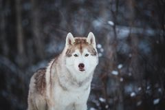 Close-up portrait of gorgeous and free siberian Husky dog standing on the snow in the fairy winter forest. Close-up portrait of gorgeous, serious and free royalty free stock images