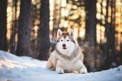 Gorgeous, happy and free Siberian Husky dog lying on the snow path in the winter forest at sunset. Close-up Portrait of gorgeous, happy and free Siberian Husky stock photo