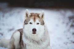 Close-up Portrait of gorgeous, happy and free Siberian Husky dog lying on the snow path in thedark forest in winter. Close-up Portrait of gorgeous, happy and stock photography