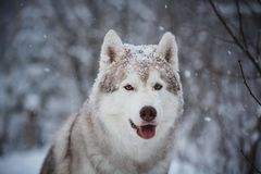 Close-up Portrait of gorgeous and happy Siberian Husky dog sitting on the snow in the mysterious dark forest in winter. Close-up Portrait of gorgeous, happy and stock photos