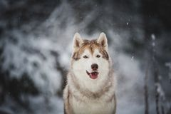 Close-up Portrait of gorgeous and free Siberian Husky dog sitting on the snow in the mysterious dark forest in winter. Close-up Portrait of gorgeous, prideful royalty free stock image