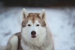 Close-up Portrait of gorgeous, prideful and free Siberian Husky dog lying on the snow path in thedark forest in winter. Close-up Portrait of gorgeous, prideful royalty free stock image