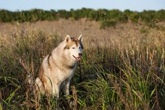 Close-up portrait of gorgeous siberian husky dog with brown eyes sitting in the grass at sunset. Portrait of gorgeous beige and white siberian husky dog with royalty free stock photo