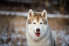 Close-up portrait of gorgeous siberian Husky dog sitting in winter forest at sunset. Close-up portrait of gorgeous and free siberian Husky dog sitting in the royalty free stock images