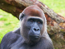 Close-up portrait of a Gorilla Royalty Free Stock Photos