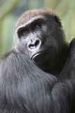 Close up portrait of gorilla ape Royalty Free Stock Images