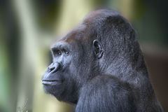 Close up portrait of gorilla ape Royalty Free Stock Photos