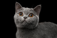 Close-up Portrait of Gray British Kitten on Isolated black background Stock Photo
