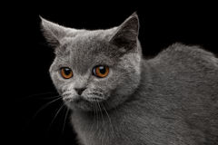 Close-up Portrait of Gray British Kitten on Isolated black background Stock Images