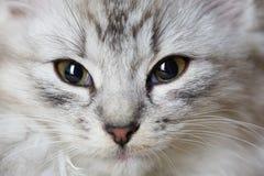 Close-up portrait of gray cat. Macro portrait of grey kitty Royalty Free Stock Photos