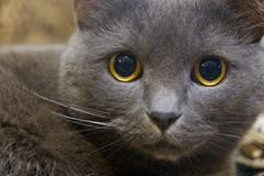 Close-up portrait of a gray cat with yellow eyes royalty free stock image