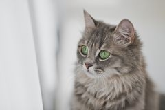 Close up portrait of a gray fluffy cat. Beautiful portrait of a cute cat Royalty Free Stock Images