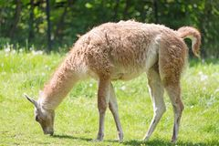 Close up portrait of grazing Guanako llama Lama guanicoe on green grass. Royalty Free Stock Images