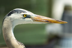 Great Blue Heron (Ardea Herodias) Royalty Free Stock Images