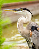 Close up portrait of great blue heron Stock Photography