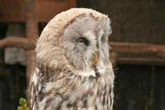 A close-up portrait of the Great Grey Owl Royalty Free Stock Photography