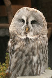 A close-up portrait of the Great Grey Owl Stock Photography