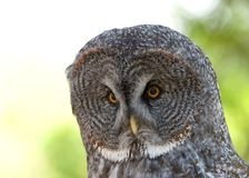Close up portrait of a Great Grey Owl. It is a very large owl, documented as the worlds largest species of owl by length. Adults have a large rounded head with royalty free stock images