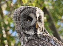 Great Grey Owl Strix nebulosa. Close-up portrait of a Great Grey Owl Strix nebulosa, the world`s largest owl species royalty free stock images