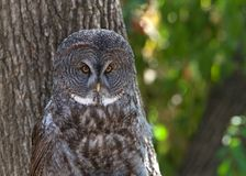 Portrait of a Great Grey Owl in front of a tree. Close up portrait of a Great Grey Owl. It is a very large owl, documented as the worlds largest species of owl royalty free stock photography