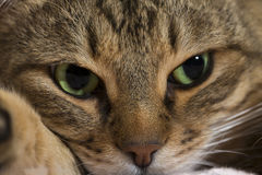 Close up portrait of green-eyed cat Royalty Free Stock Photos