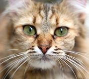 Close-up portrait of green-eyed cat. Royalty Free Stock Photos