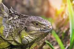 Close up portrait green iguana Iguana iguana resting in natural Royalty Free Stock Photo